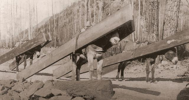 Burros hauling ponderosa pine planks for the bottom and side of the flume.